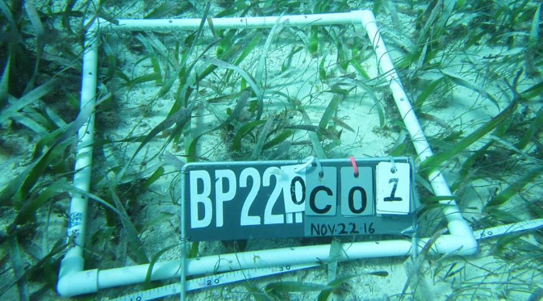 Seagrass being monitored during a research project in Belize.